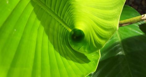 Goeppertia marantifolia