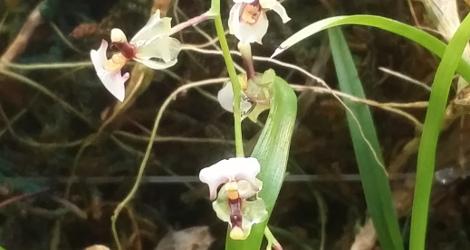 Gomesa radicans blooming this week