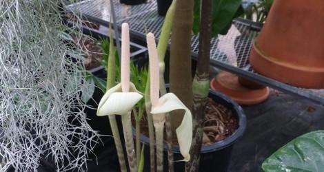 Gonatopus boivinii