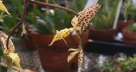 Gongora rufescens blooming this week