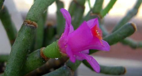 Hatiora herminiae