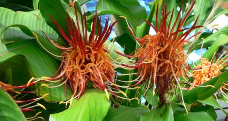 Hedychium longicornutum
