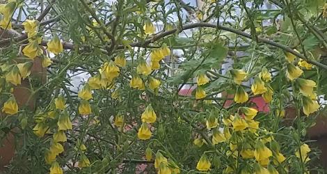 <i>Random Accession: </i>Hermannia verticillata
