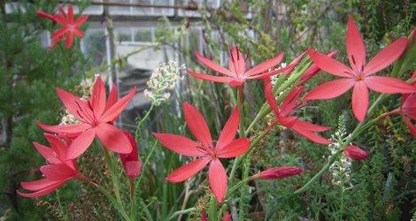 Hesperantha coccinea