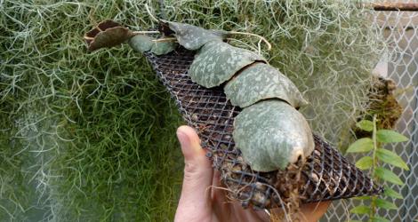 Hoya imbricata var. basiorotunda