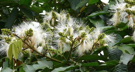 Inga edulis blooming this week