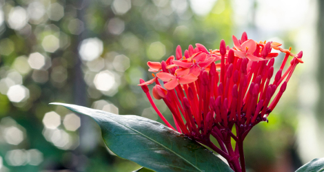 Ixora javanica blooming this week
