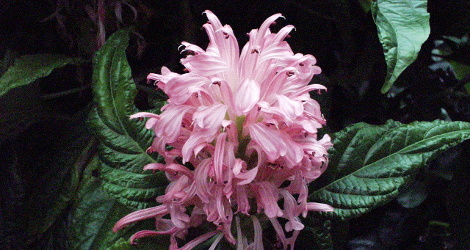 Justicia carnea blooming this week