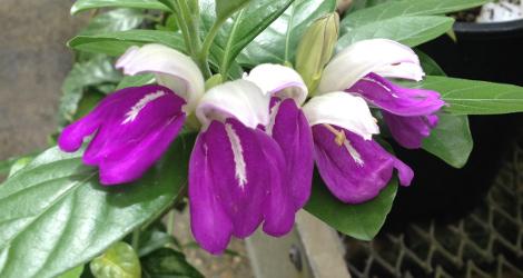 Justicia cydoniifolia