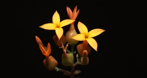 Kalanchoe rotundifolia blooming this week