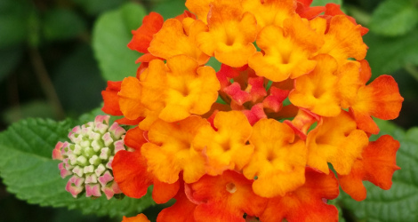 Lantana camara blooming this week