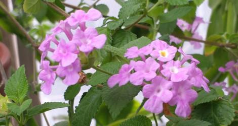 Lantana montevidensis blooming this week