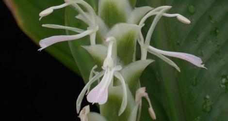 Larsenianthus careyanus