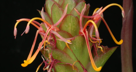 Larsenianthus wardianus