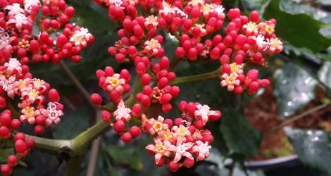 Leea guineensis blooming this week