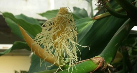 Ludovia integrifolia