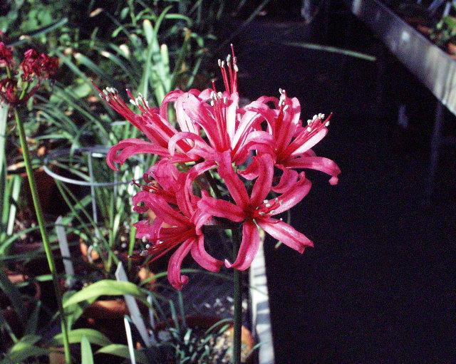 Japan's orange surprise lily, Lycoris sanguinea