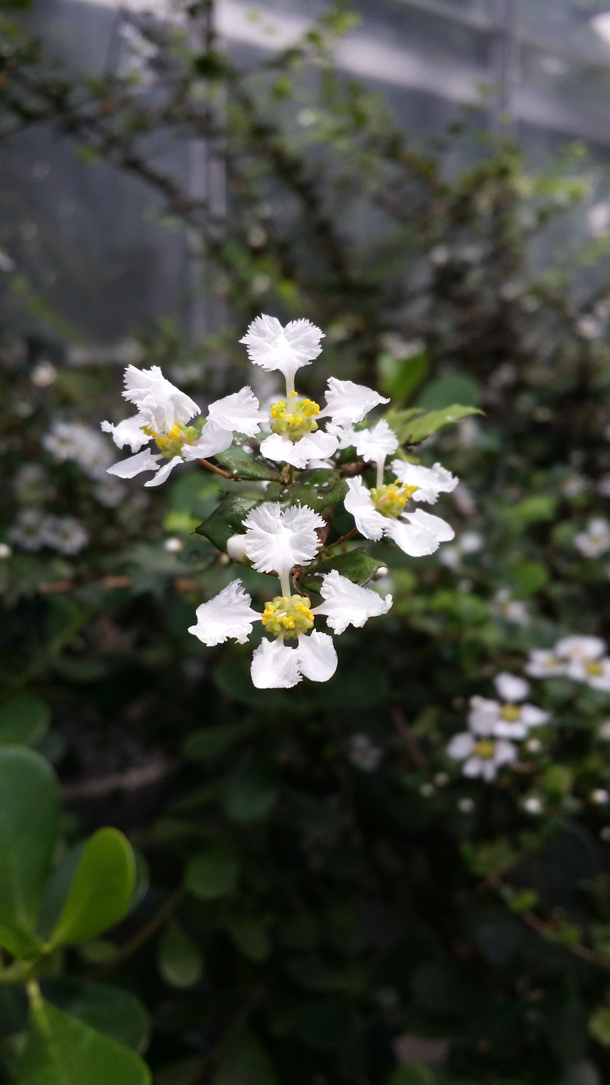 Malpighia Coccigera Malpighiaceae Miniature Holly