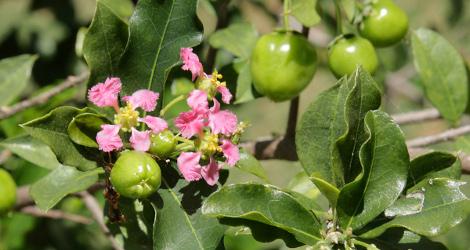 Malpighia glabra blooming this week