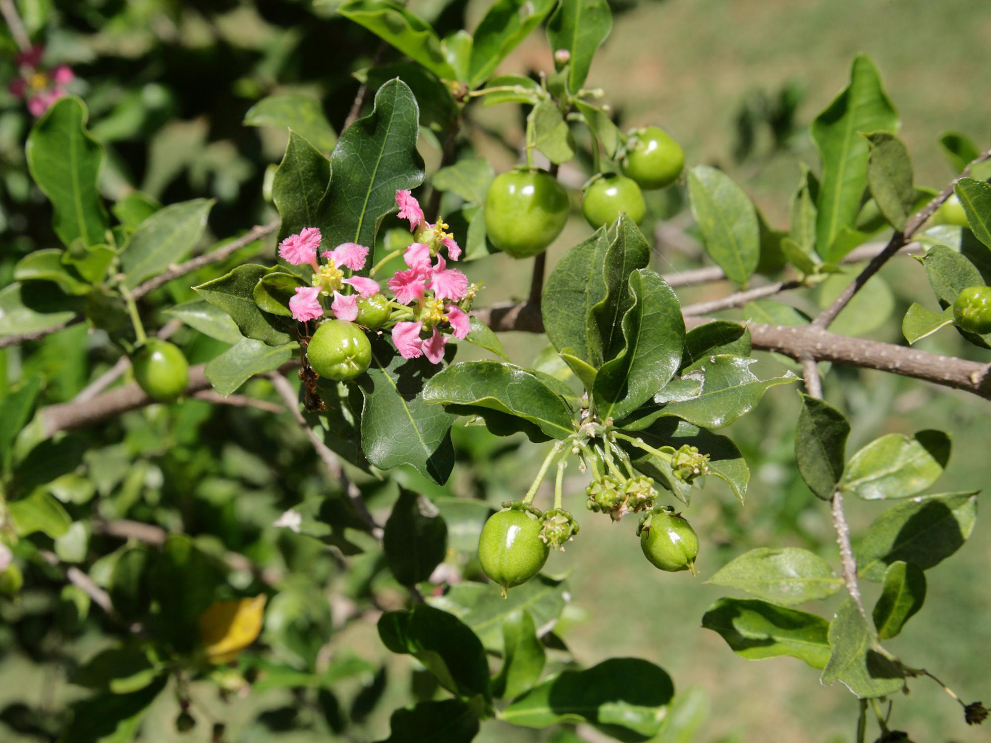 Malpighia Glabra Malpighiaceae Barbados Cherry Acerola