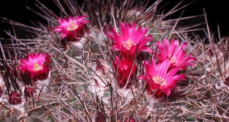 Mammillaria hertrichiana
