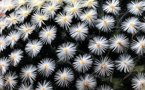 Mammillaria scheideana