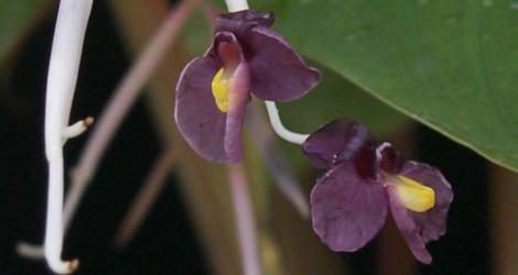 Marantochloa purpurea