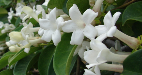 Marsdenia floribunda