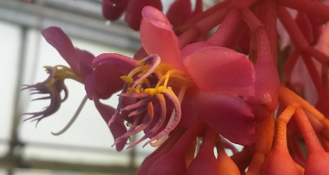Medinilla magnifica blooming this week