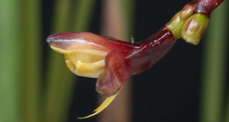 Megaphrynium macrostachyum