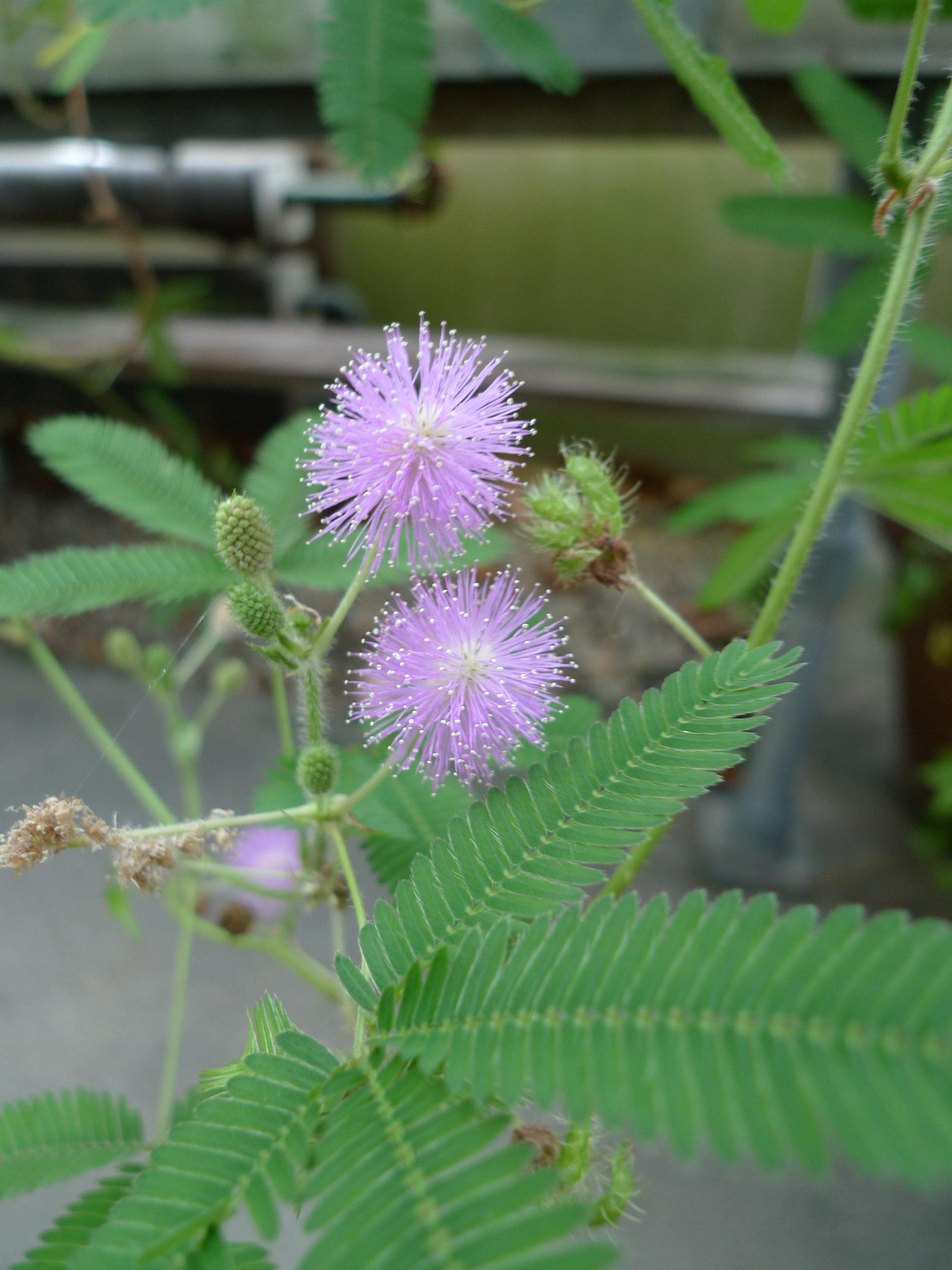mimosa pudica fabaceae sensitive plant. Black Bedroom Furniture Sets. Home Design Ideas