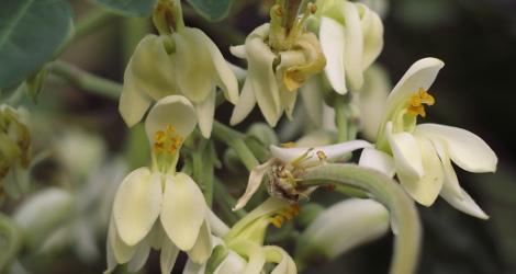 Moringa oleifera blooming this week