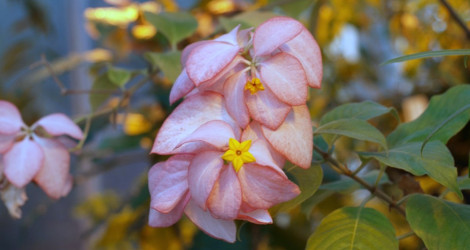 Mussaenda philippica Queen Sirikit blooming this week