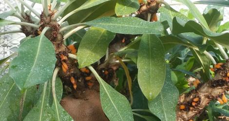 Myrmecodia tuberosa 'armata'