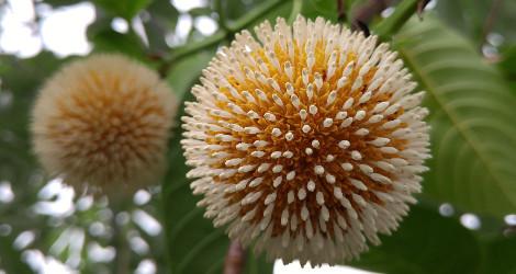 Neolamarckia cadamba blooming this week