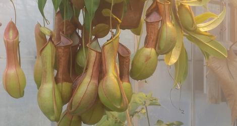 <i>Random Accession: </i>Nepenthes alata