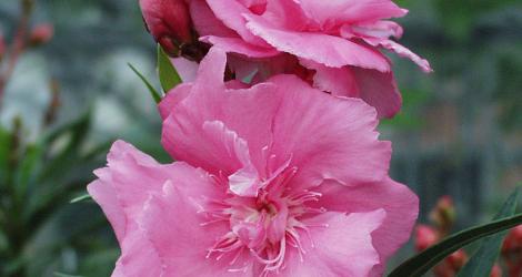 Nerium oleander blooming this week