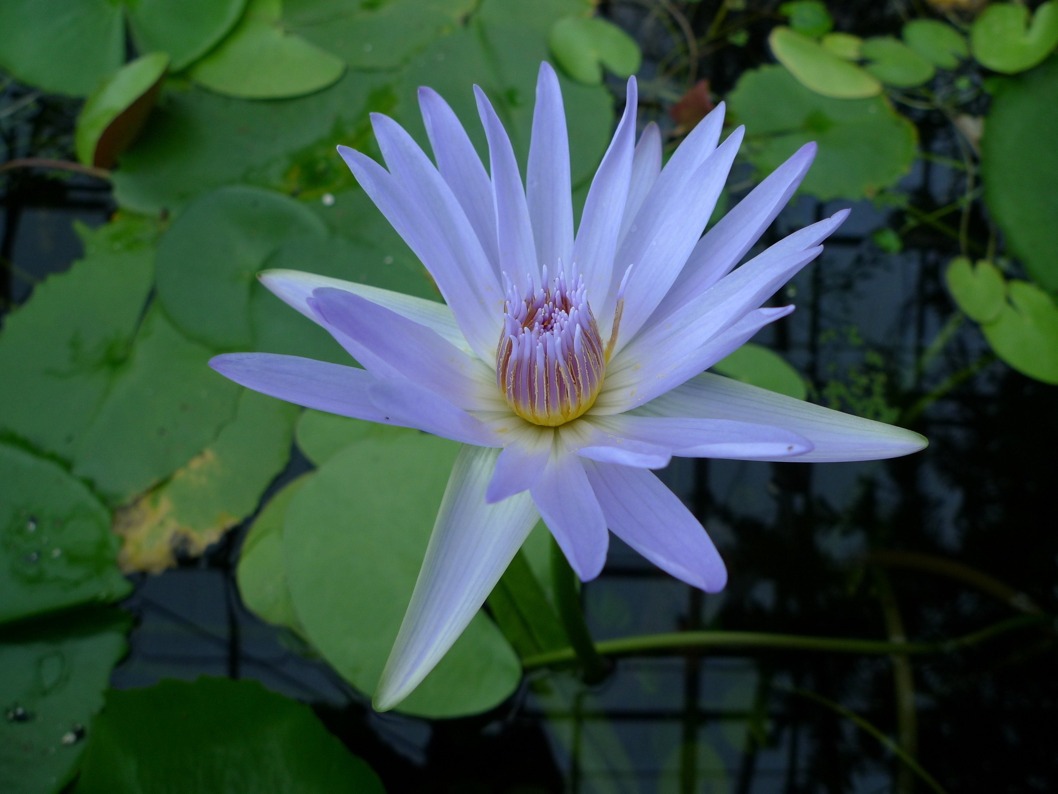 Nymphaea nouchali var caerulea nymphaeaceae blue water lily additional images for this accession izmirmasajfo