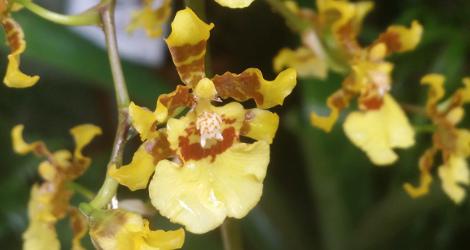Oncidium altissimum blooming this week