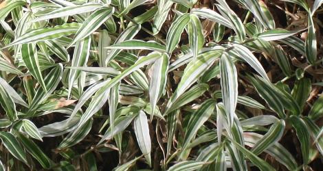 Oplismenus hirtellus 'Variegatus'