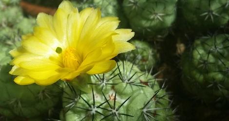 Ortegocactus macdougallii blooming this week