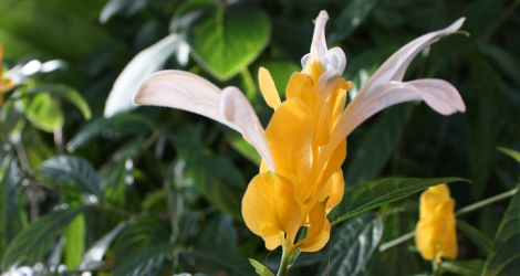 Pachystachys lutea blooming this week