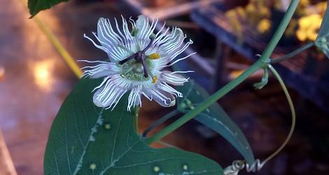 Passiflora pardifolia