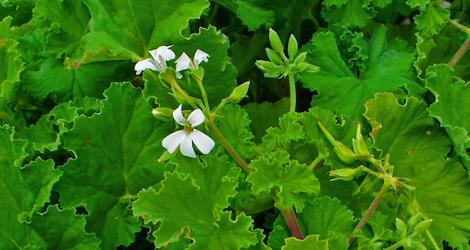 Pelargonium odoratissimum blooming this week