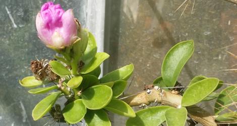 Pereskia sacharosa blooming this week