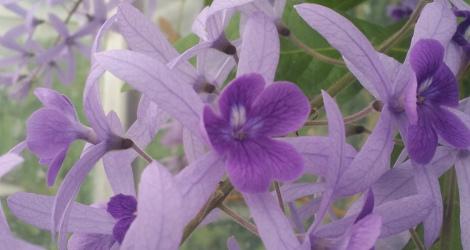 Petrea volubilis blooming this week