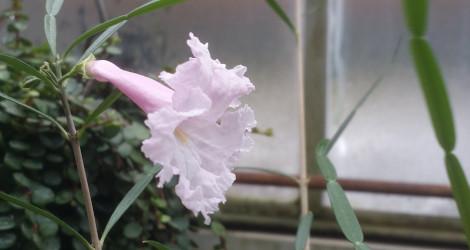 Phyllarthron bernierianum blooming this week