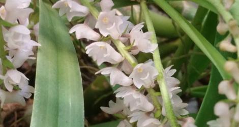 Pinalia spicata
