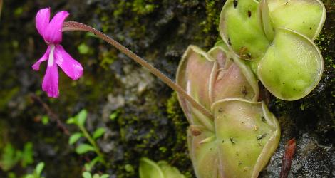 Pinguicula moranensis