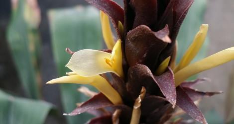 Pitcairnia atrorubens